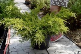 Можжевельник Олд Голд, Juniperus media Old Gold