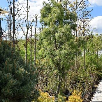 "Сосна Веймутова Торулоза (Pinus strobus ""Torulosa"")"