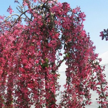 Яблоня декоративная плакучая