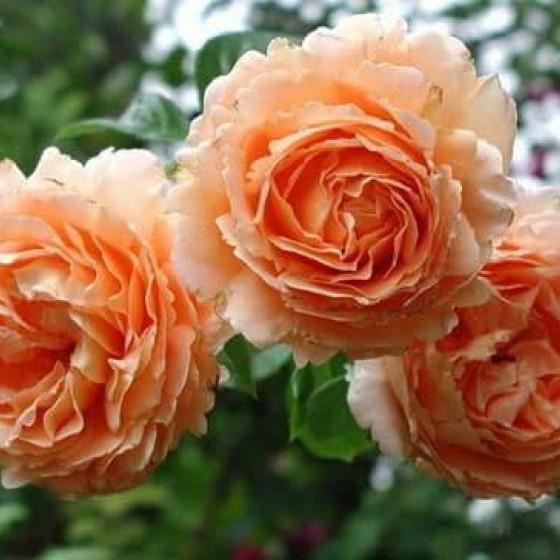 Роза Полька