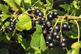 Саженцы смородины черная Кармелита