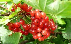 Саженцы смородины красная Поляна
