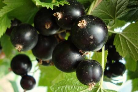 Саженцы смородины черная Реформа