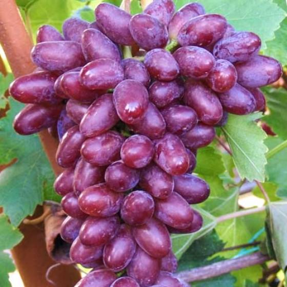 Виноград Виктория