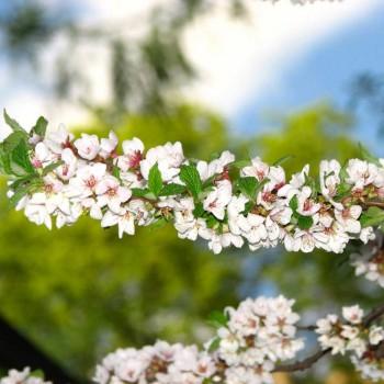 Саженцы войлочной вишни